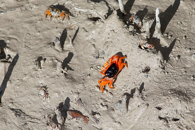 Flame-backed Fiddler Crab