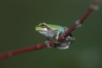 Eastern Gray Treefrog Hyla versicolor Skogstjarna Carlton Co MN IMG_0066232