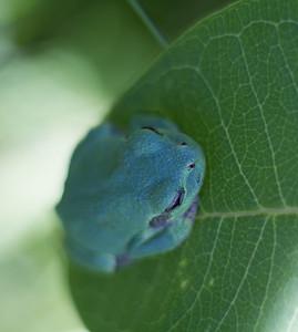 Eastern Gray Treefrog on milkweed Hyla versicolor CR5 Carlton County MN IMG_3697