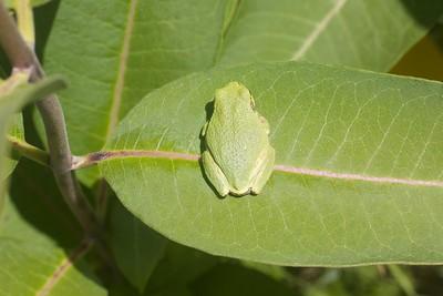 Eastern Gray Treefrog Hyla versicolor Lake Nichols Rd Sax-Zim Bog MN IMG_0778