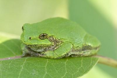Eastern Gray Treefrog Hyla versicolor Nichols Lake Road Sax-Zim Bog MN IMG_5484