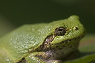 Eastern Gray Treefrog Hyla versicolor Lake Nichols Rd Sax-Zim Bog MN IMG_0782