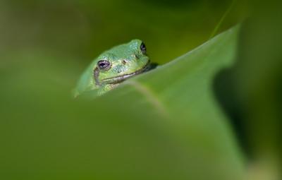 Eastern Gray Treefrog on milkweed Hyla versicolor CR5 Carlton County MN IMG_3691