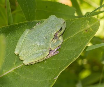 Eastern Gray Treefrog on milkweed Hyla versicolor CR5 Carlton County MN IMG_3658