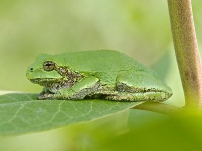 Eastern Gray Treefrog Hyla versicolor Nichols Lake Road Sax-Zim Bog MN IMG_5491