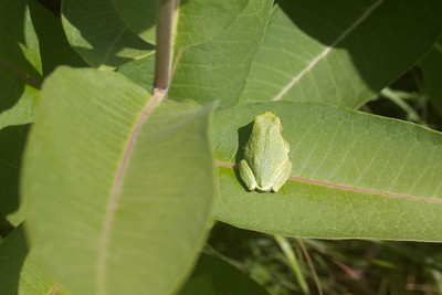 Eastern Gray Treefrog Hyla versicolor Lake Nichols Rd Sax-Zim Bog MN IMG_0777