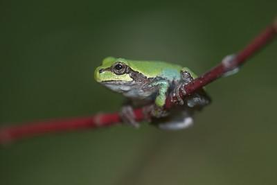 Eastern Gray Treefrog Hyla versicolor Skogstjarna Carlton Co MN IMG_0066229