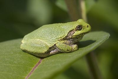 Eastern Gray Treefrog Hyla versicolor Lake Nichols Rd Sax-Zim Bog MN IMG_0780