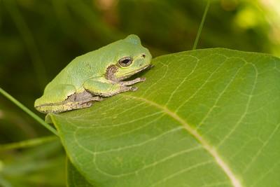 Eastern Gray Treefrog on milkweed Hyla versicolor CR5 Carlton County MN IMG_3675