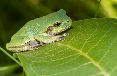 Eastern Gray Treefrog on milkweed Hyla versicolor CR5 Carlton County MN IMG_3674