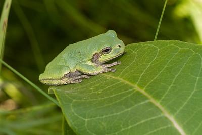 Eastern Gray Treefrog on milkweed Hyla versicolor CR5 Carlton County MN IMG_3673