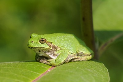 Eastern Gray Treefrog Hyla versicolor Nichols Lake Road Sax-Zim Bog MN IMG_5493