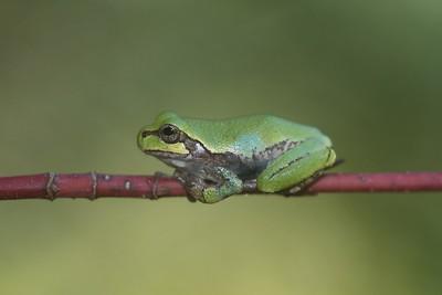 Eastern Gray Treefrog Hyla versicolor Skogstjarna Carlton Co MN IMG_0066226