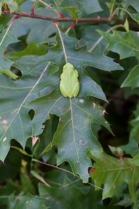 Eastern Gray Treefrog Crex Meadows Grantsburg WI IMG_7827