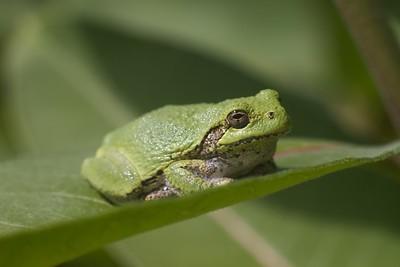 Eastern Gray Treefrog Hyla versicolor Lake Nichols Rd Sax-Zim Bog MN IMG_0781