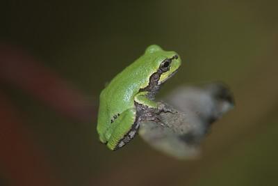 Eastern Gray Treefrog Hyla versicolor Skogstjarna Carlton Co MN IMG_0066228