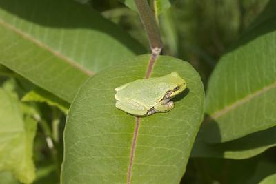 Eastern Gray Treefrog Hyla versicolor Lake Nichols Rd Sax-Zim Bog MN IMG_0776