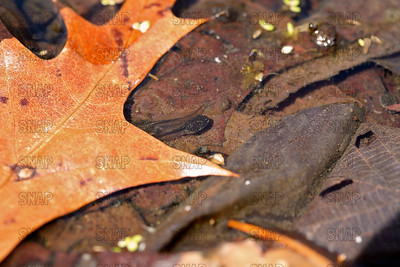 Two unidentified tadpoles in a small vernal pool next to a colorful leaf.