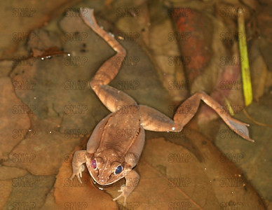 A male Wood Frog (Rana sylvatica), with one red eye, and one black eye.