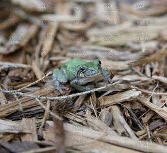 Gray Treefrog (Hyla versicolor).