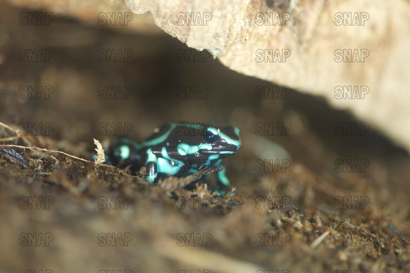 Blue Black Auratus (Dendrobates auratus) arrow poison frog at the Jacksonville Zoo and Gardens.