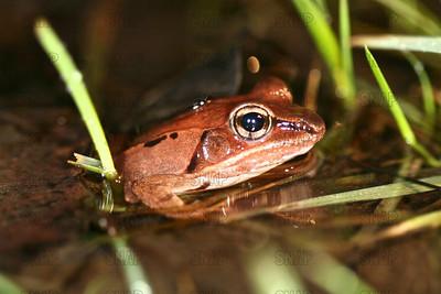 Wood Frogs (Rana sylvatica) close-up..