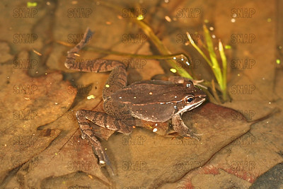 Wood Frogs (Rana sylvatica).