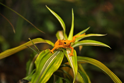 Panamanian Golden Arrow Frog (Atelopus varius zeteki) at the Jacksonville Zoo and Gardens.