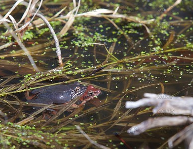 Wood Frogs Breeding