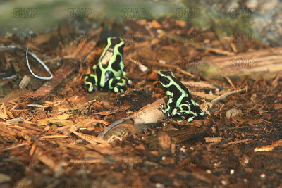 Green and Black Poison Arrow Frog