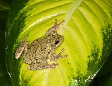 This is a Gray Treefrog