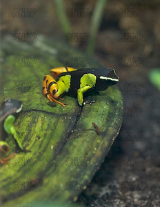Arrow Poison Frog (Dendrobates sp.) at the Jacksonville Zoo and Gardens.