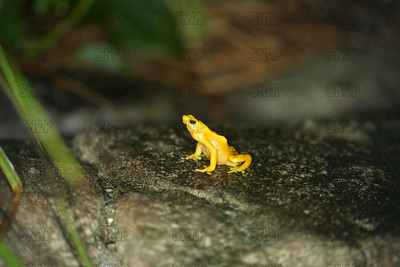 Panamanian Golden Frog (Atelopus varius zeteki) at the Jacksonville Zoo and Gardens.