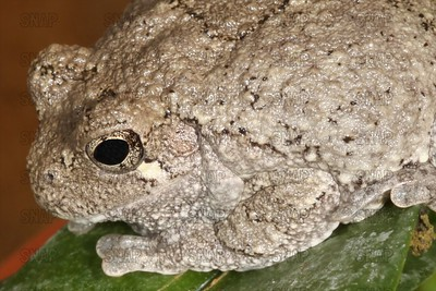 Cope's Grey Tree Frog