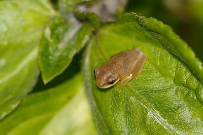 Dainty Tree Froglet