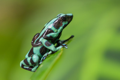 Black and Green Poison-dart Frog