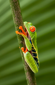 Red-eyed Tree Frog - NatureScapes Image Of The Week, March, 2012