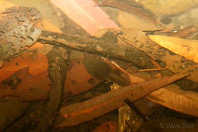 Fleay's Barred Frog Tadpole