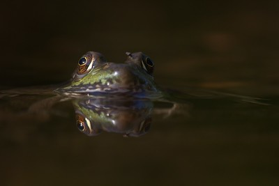 Green Frog Rana clamitans Skogstjarna Carlton Co MN IMG_0042854