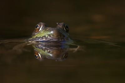Green Frog Rana clamitans Skogstjarna Carlton Co MN IMG_0042852