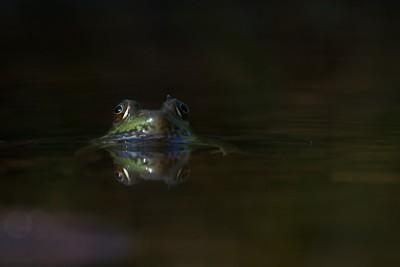 Green Frog Rana clamitans Skogstjarna Carlton Co MN IMG_0042845