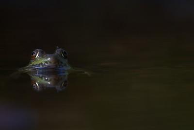 Green Frog Rana clamitans Skogstjarna Carlton Co MN IMG_0042841