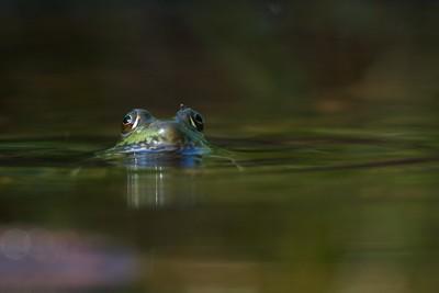 Green Frog Rana clamitans Skogstjarna Carlton Co MN IMG_0042846