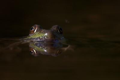 Green Frog Rana clamitans Skogstjarna Carlton Co MN IMG_0042858