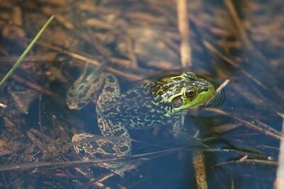 Mink Frog Skogstjarna Carlton Co MN IMG_0037256