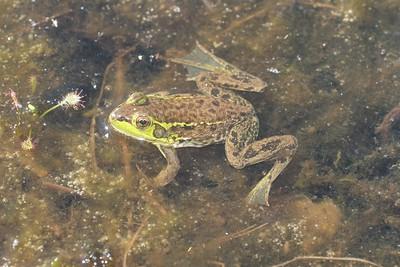 Mink Frog Rana septentrionalis Jay West Bog Carlton Co MN IMG_0041077