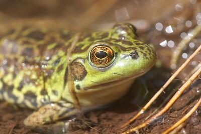 Mink Frog Rana septentrionalis Skogstjarna Carlton Co MN IMG_0057055
