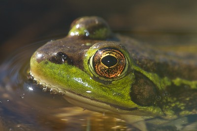 Mink Frog Rana septentrionalis Jay West Bog Carlton Co MN IMG_0041083