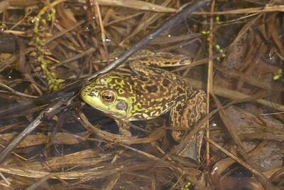 Mink Frog Rana septentrionalis Skogstjarna Carlton Co MN IMG_0057059