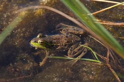 Mink Frog Rana septentrionalis Jay West Bog Carlton Co MN IMG_0041069